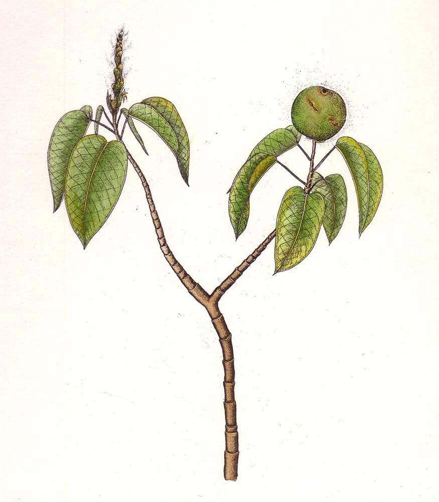 ManchineelTree.jpg