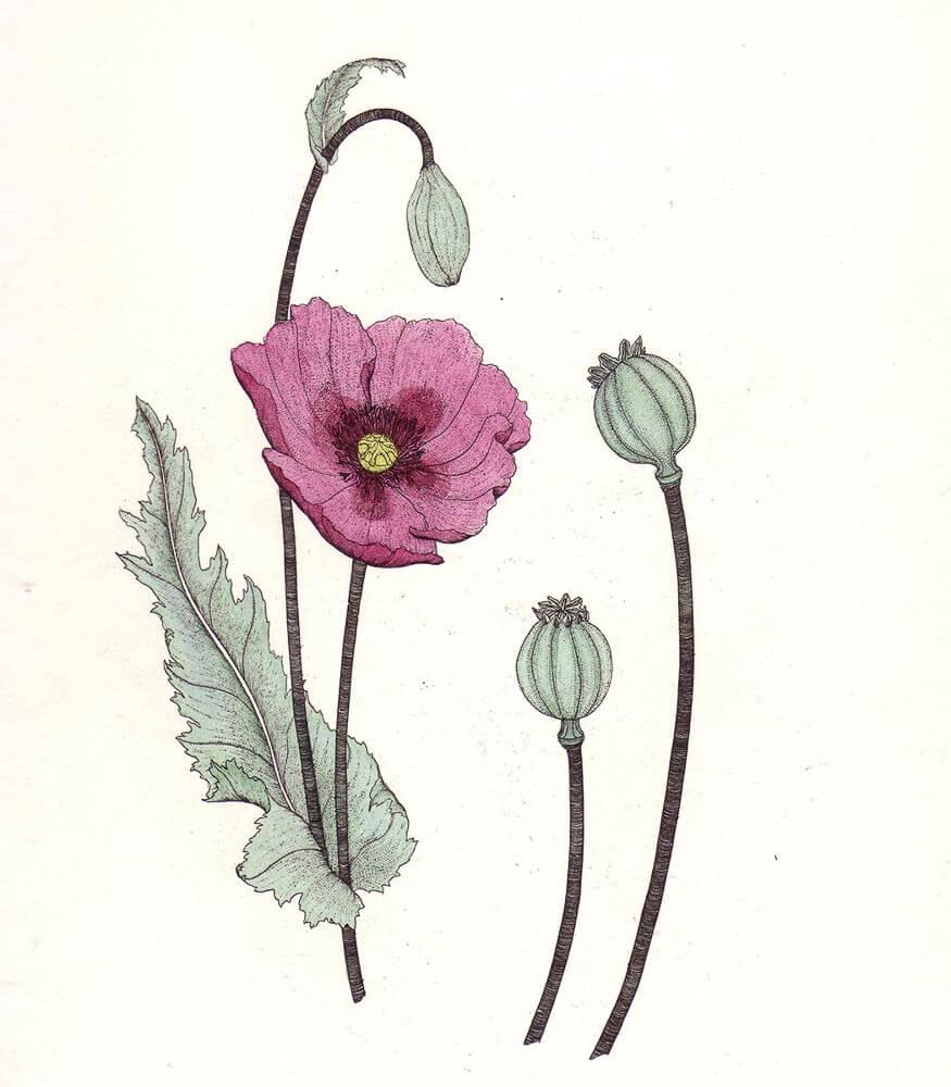 Opium_Poppy.jpg