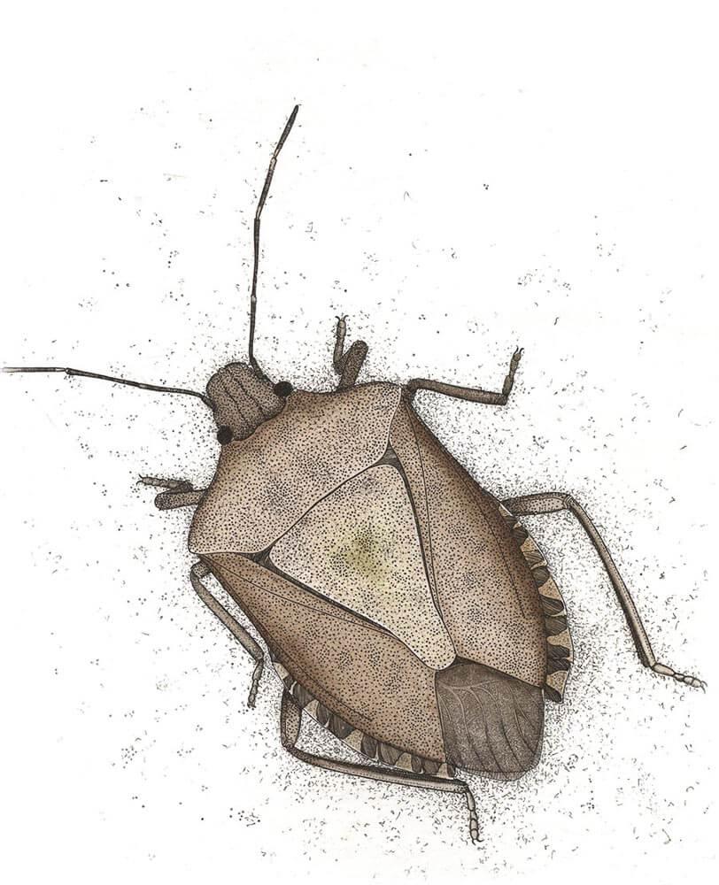 Brown Marm Stink Bug
