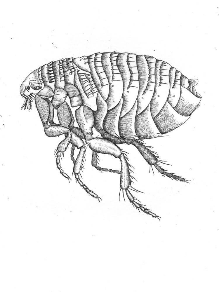 Chigoe Flea