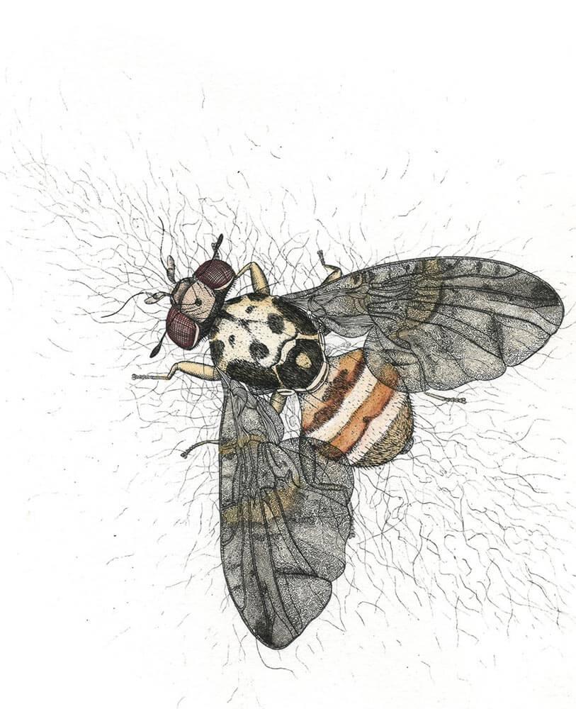 Med Fruit Fly