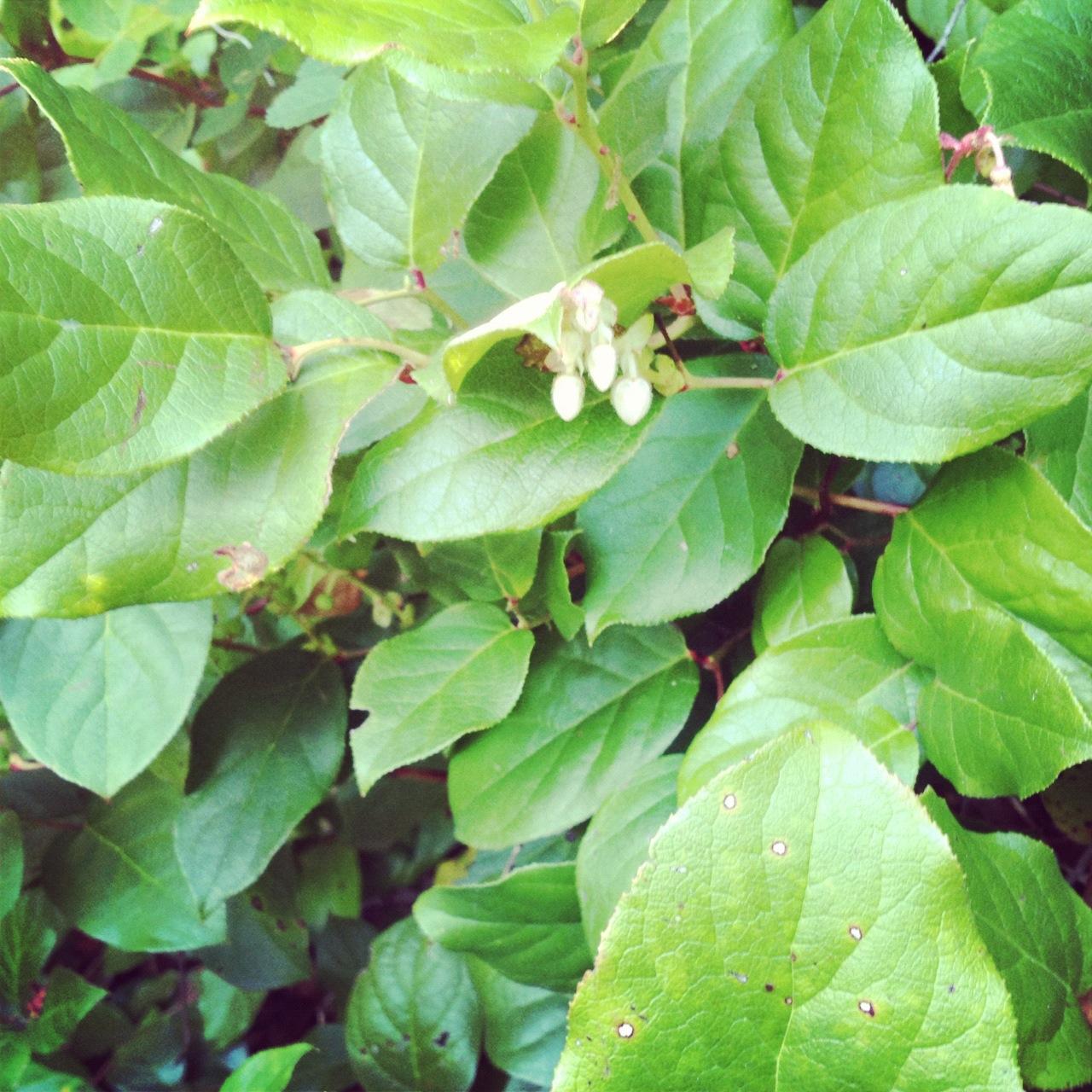 edible leaves and berries