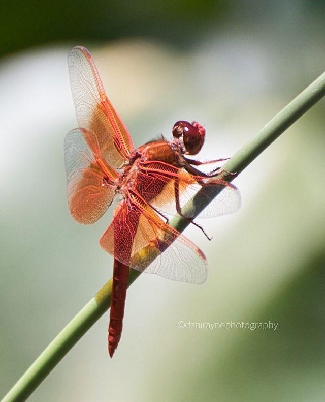 Red Dragonfly in Descanso Gardens. I'm a little obsessed... .⠀ Nikon Z6 Nikkor 70-300mm ⠀ ISO 2500 f/5.6 1/5000 300mm⠀ .⠀ #nikonphotography #nikonmirrorless #nikonlosangeles #nikonusa #nikonnofilter #nikonlosangeles #nikonZ6 #z6  #nikonnature  #natureobsessed #naturephotographer #naturephotography  #photographyislife #photohike #photographoftheday #reddragonfly #dragonflydetail #descansogardens