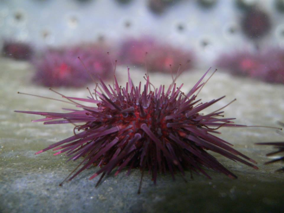 The Sea Urchins Mungo grows on the farm are only fed wild harvested Kelp (Laminaria digitata)to ensure a healthy production of roe. While the process is slow, it is worth the wait.