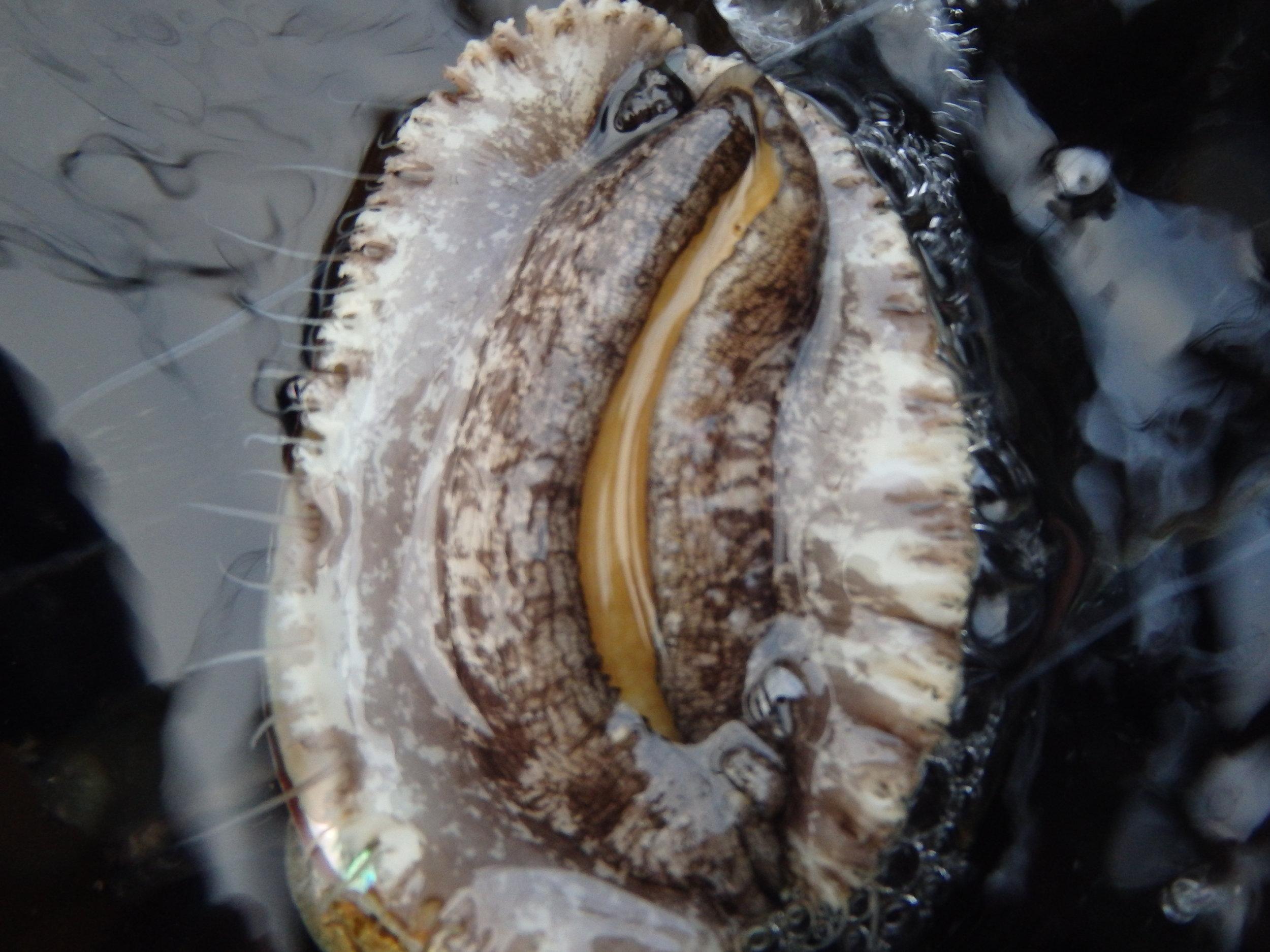 Abalone in sea water.JPG