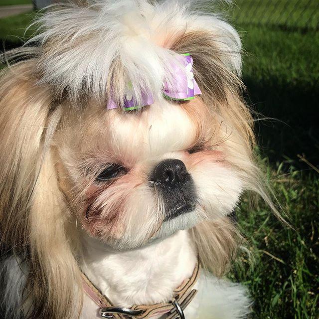 It's a sunny Sunday! 💥🌞 . . #shihtzulove #sunnydaze #sunsout #prettyshihtzu #purplebow #calgarydogs #calgarypets #yycdogs #yycpets #shihtzupuppy #shihtzugarden #prettypuppy #topknot #lovely_day #sunnysunday☀️