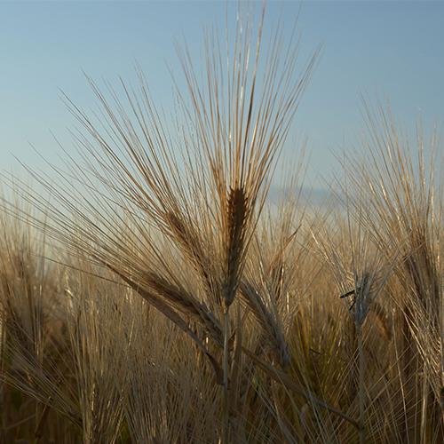 Barley 500X500.jpg