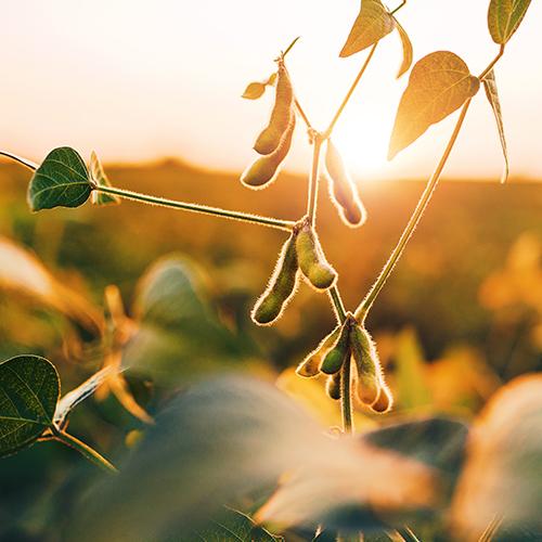 Soybeans 500X500.jpg