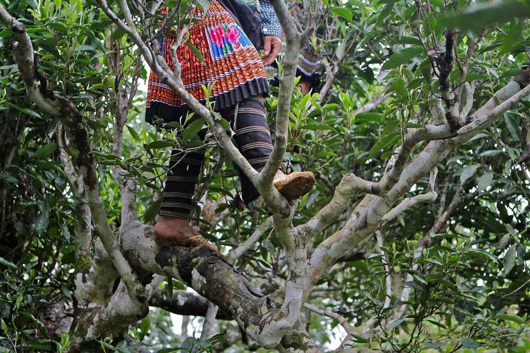 Indigenous tea pickers in Dali, Yunnan harvesting wild tea leaves