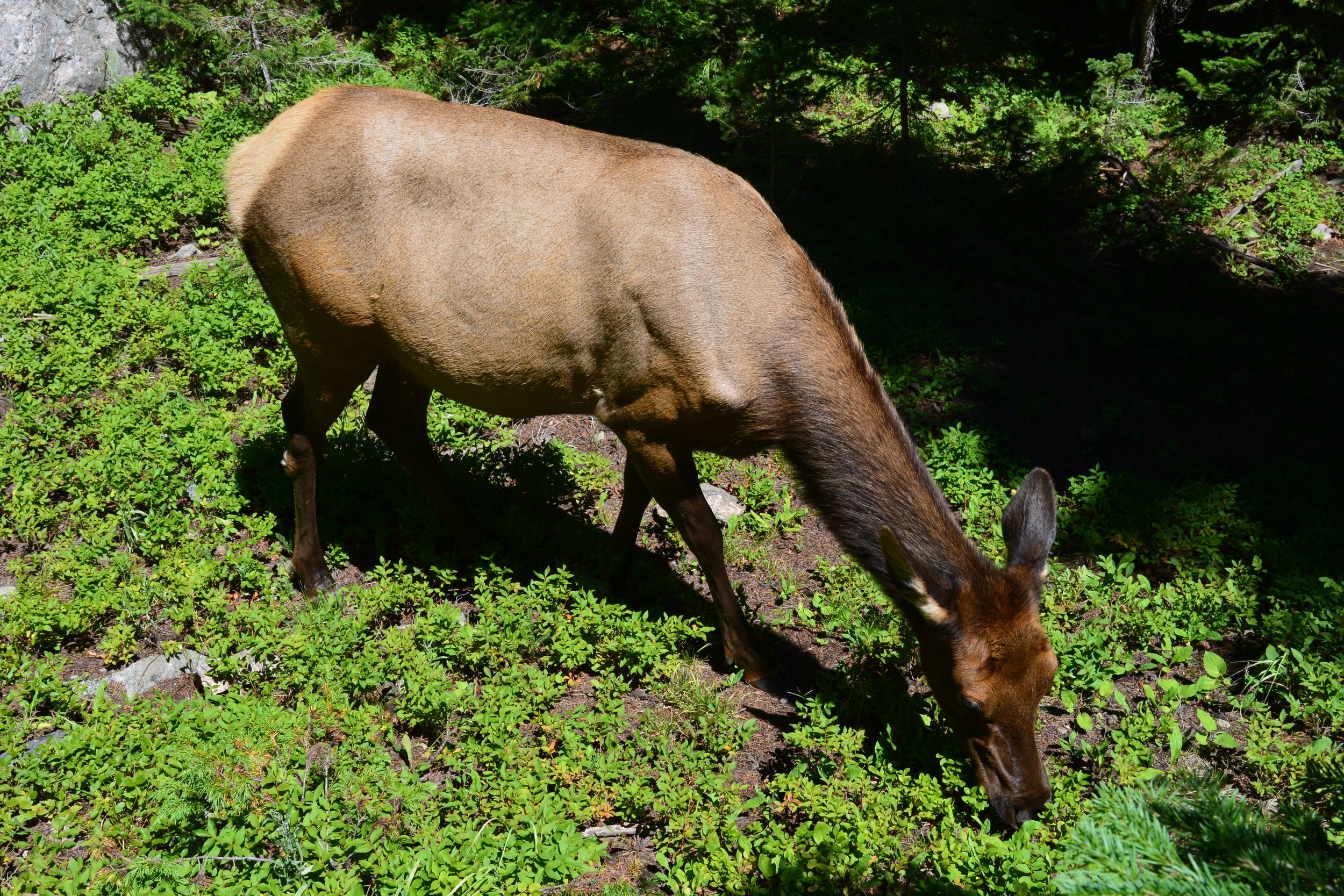 We saw about 4 wild elk doe on our hike. This picture was taken without any zoom - I was really that close!