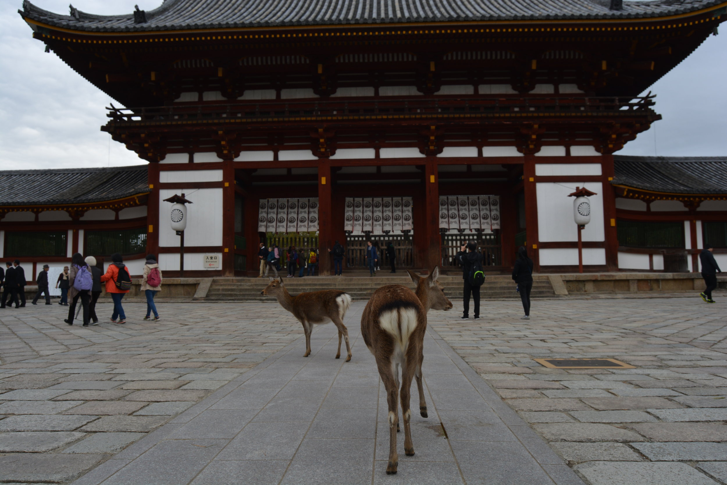 """At Nara, a town just an hour's train ride from Kyoto, hundreds of """"tame""""deer walk around freely. The deer are considered sacred based on local legend that a deity named Takemikazuchi arrived in the old capital on a white deer to act as its protector. They definitely act as if they are well aware of their status as a tourist attraction and sacred symbol - not-so-timidly approaching people for snacks and literally stopping traffic!"""