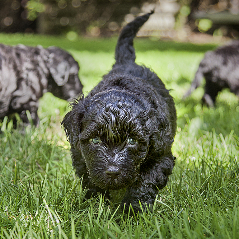 Mrs Sizzle Howie Guja Puppies.jpg
