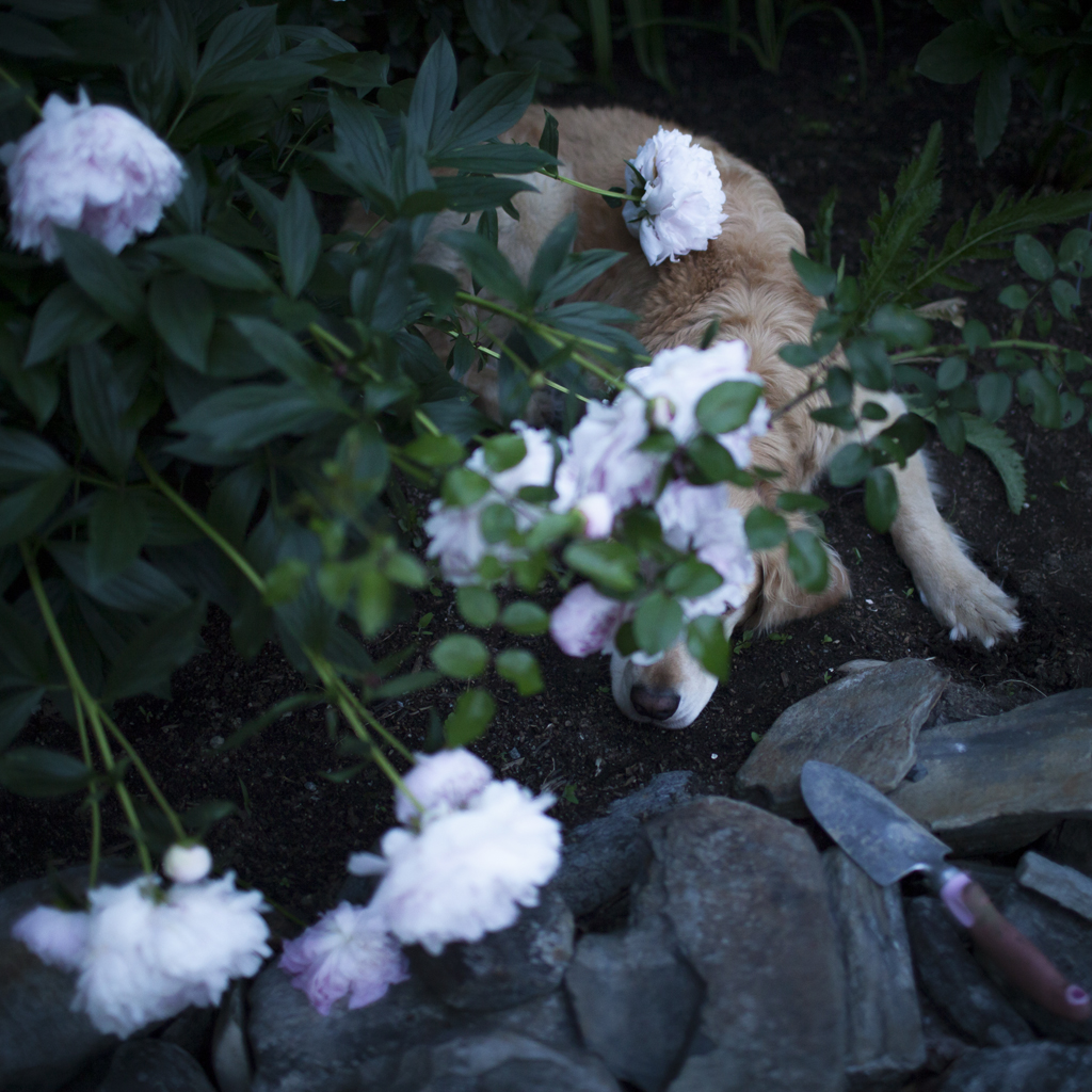 Scarlet and the Peonies, Rockport, Maine, 2014