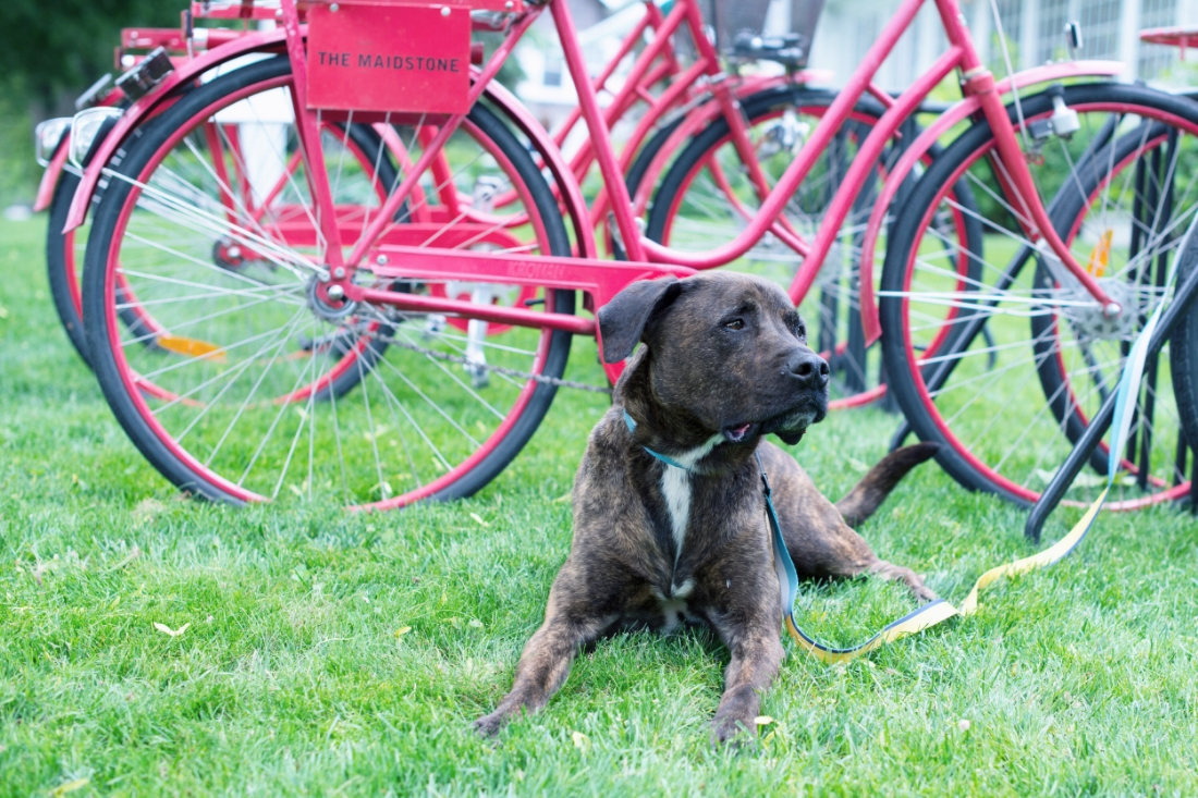After you take a ride be sure to think about taking   Ozzie from Arf   home with you! Ozzie wearing a   Wolfgang Mand and Beast   collar and leash.