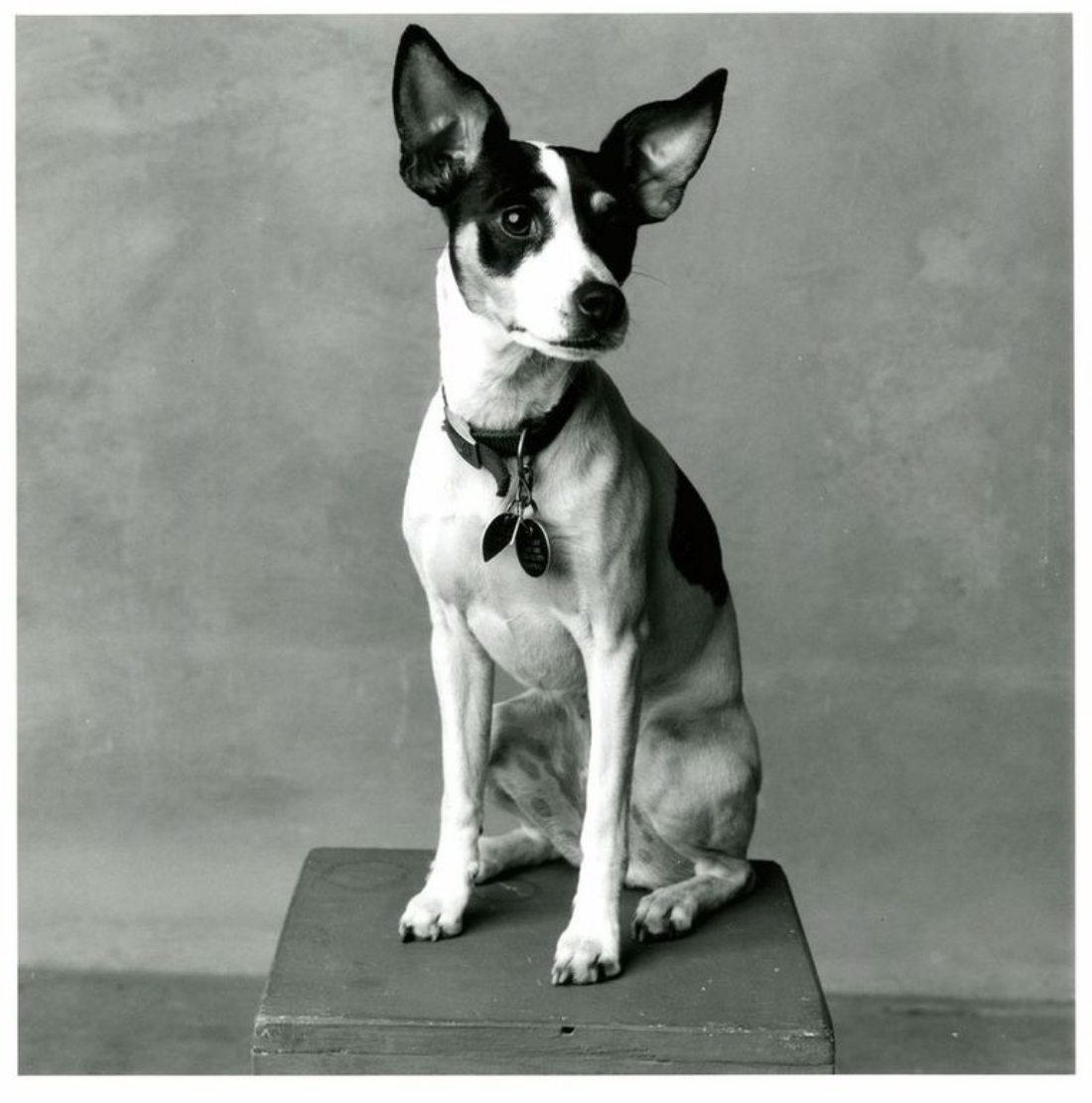"""""""Lolabelle"""" Laurie Anderson and Lou Reed's Rat Terrier"""