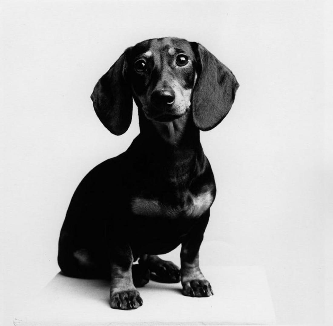 """""""Mini"""" Ross Bleckner's dachshund"""