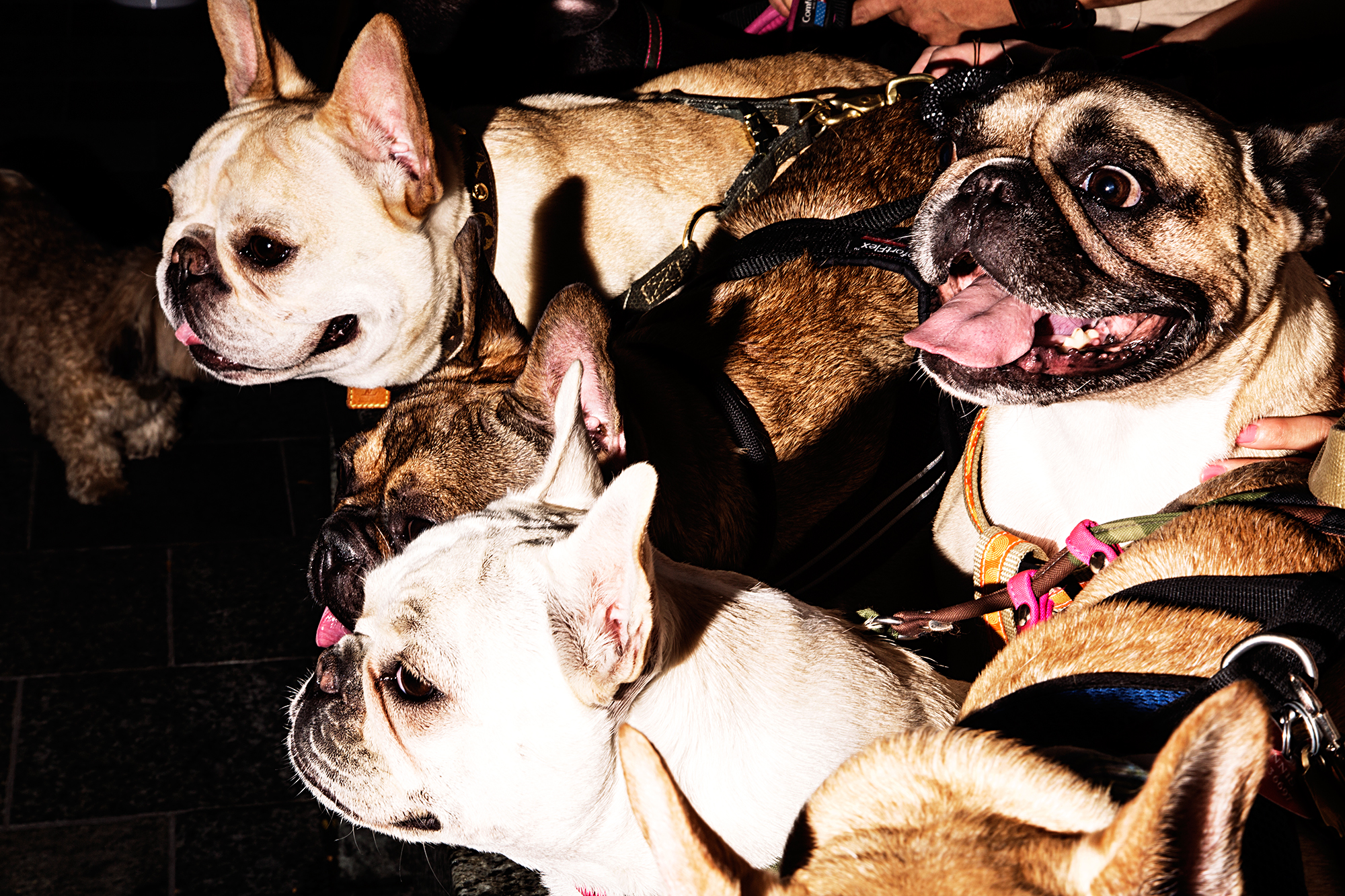@thedailywalter, @lolabarksdale, @suggsthefrenchie and @tuppee_nyc_frenchie