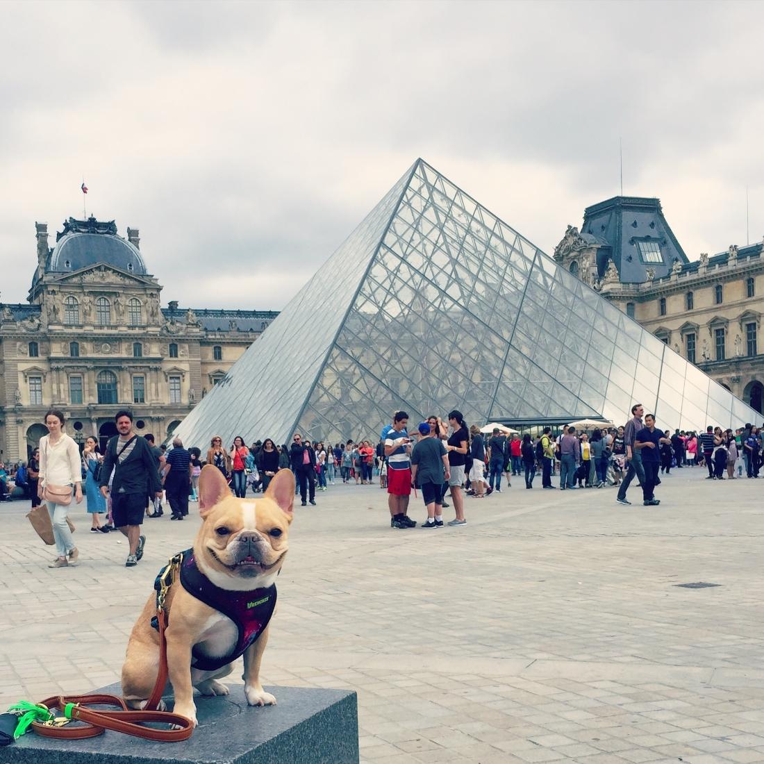 Harness:  Frenchie Bulldog   Leash:  YARK