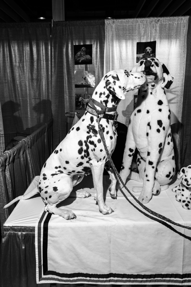 Piper, a liver Dalmation, sniffs a life-sized stuffed Dalmation during Meet the Breeds at the 140th Westminster Kennel Club dog show at Pier 92 in New York City.