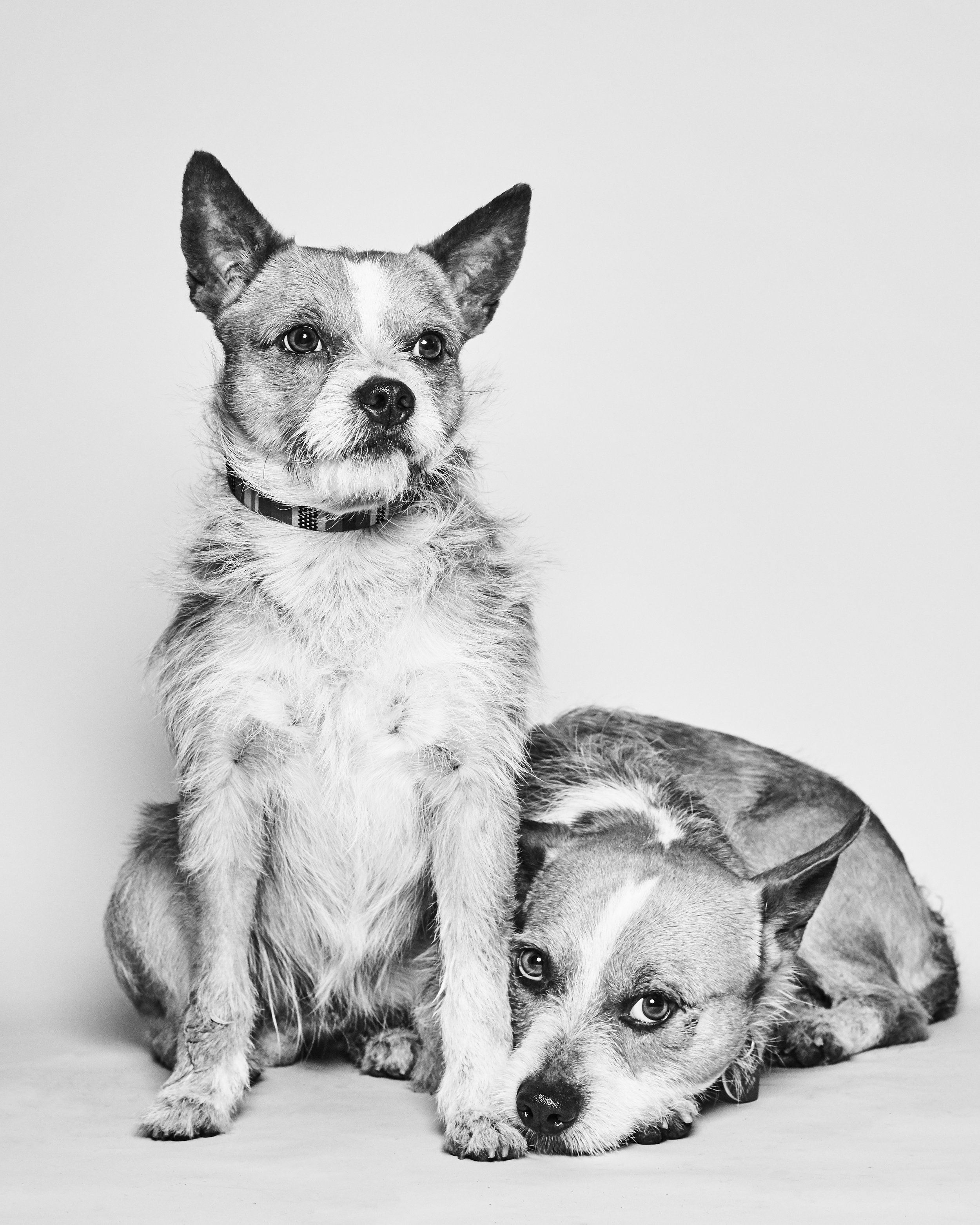 These boys are quite the odd couple! We believe them to be some sort of Corgi/Border Terrier mix and they're roughly 2 years old. We don't know but they're completely bonded. Both are super friendly and have enjoyed going through formal training to learn proper leash manners and house manners. We are looking for a home where these two boys can live together and dazzle their people with their adorable comedy routine. And haven't you always wanted a dog named Bacon??