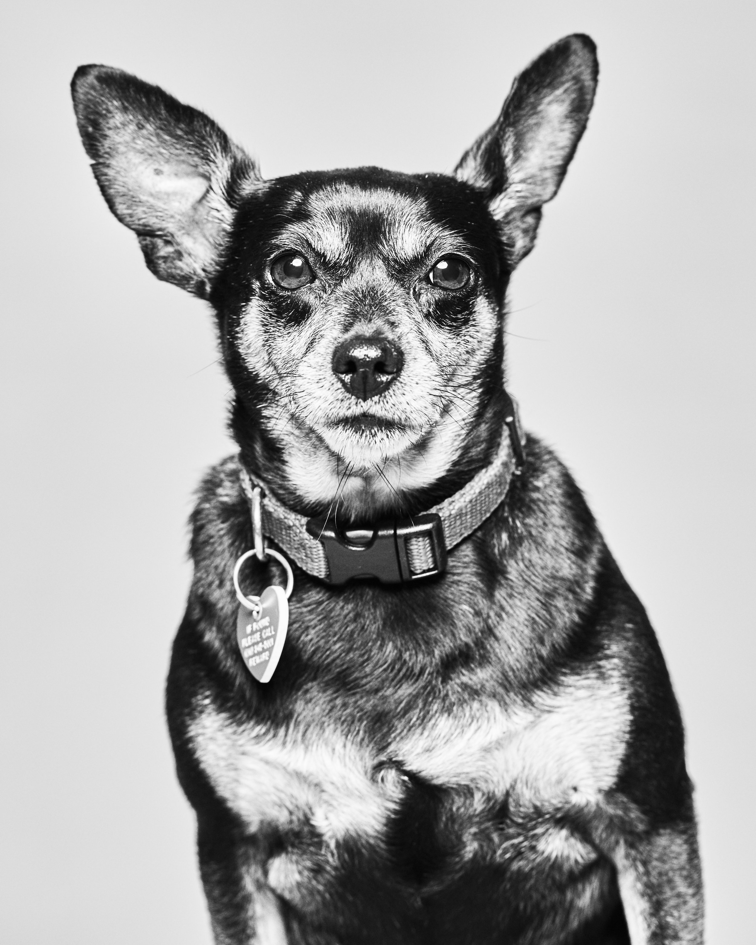 """This 5 year old, 11 lb min pin mix quickly earned the nickname """"Flirty Gertie""""amongst all her friends. She doesn't really care if you are a boy or a girl, she will fall in love with you and think you're perfect just the way you are. She enjoys human and canine companionship and is easy to befriend. Once she gets to know you she will let you take it up a notch and pick her up and may even insist on a doggie massage. Any respectful girl wants to get to know a person before she gets too close."""