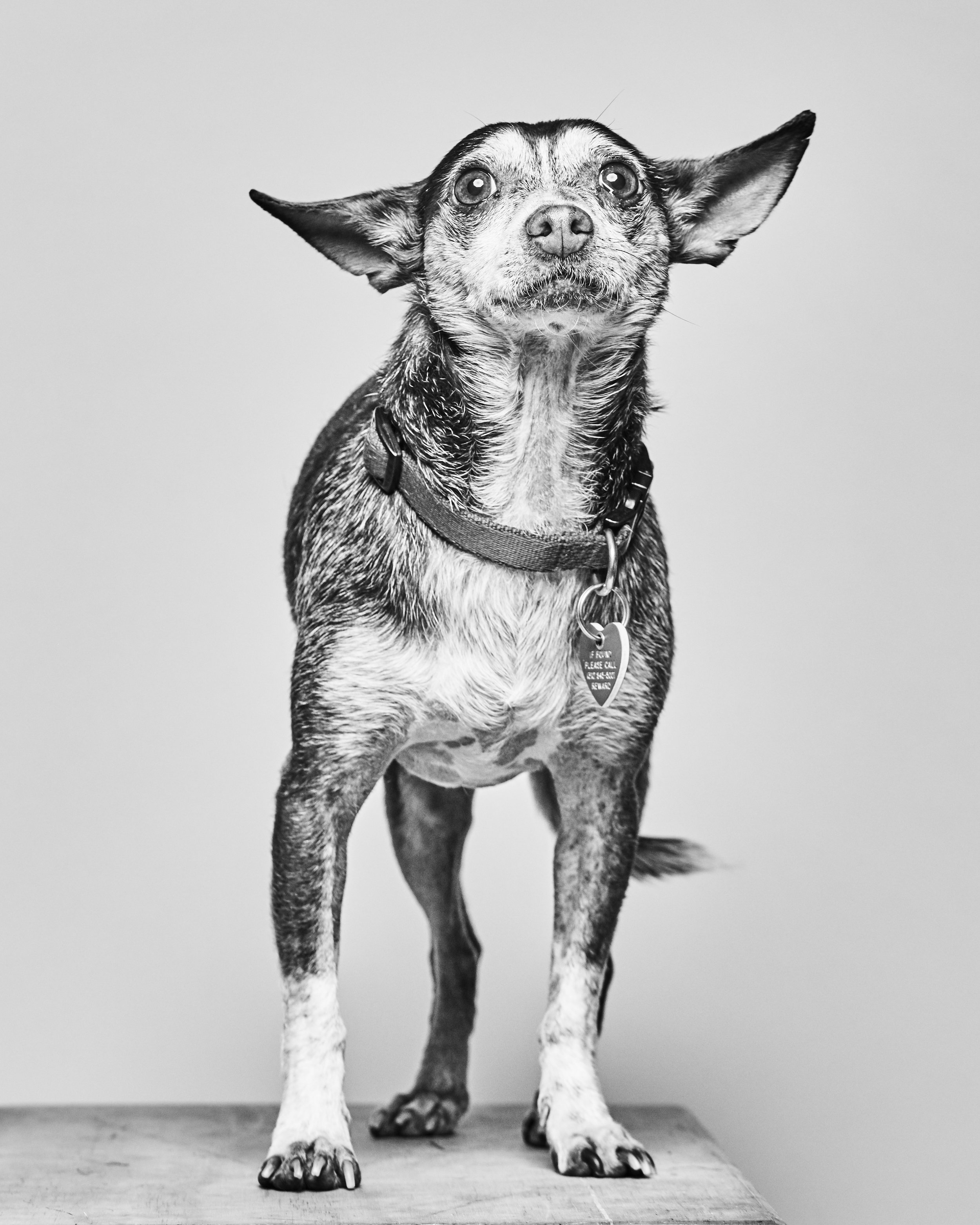 This 6.5 year old chi reminds us that big love can come in a small package! He came to us with a terrible fungal infection on his skin, 8 teeth rotting in his mouth and a cyst on his eye blocking his vision. With proper medical care and surgery from a few specialists, Robby feels like a whole new boy! And his way of saying thanks is by snuggling up to his human friends. Robby is a little shy when he first meets new people, but he quickly warms up and becomes a loyal companion. He's good with other dogs, and like to pretend to be the king of all the dogs he hangs with, regardless of size.