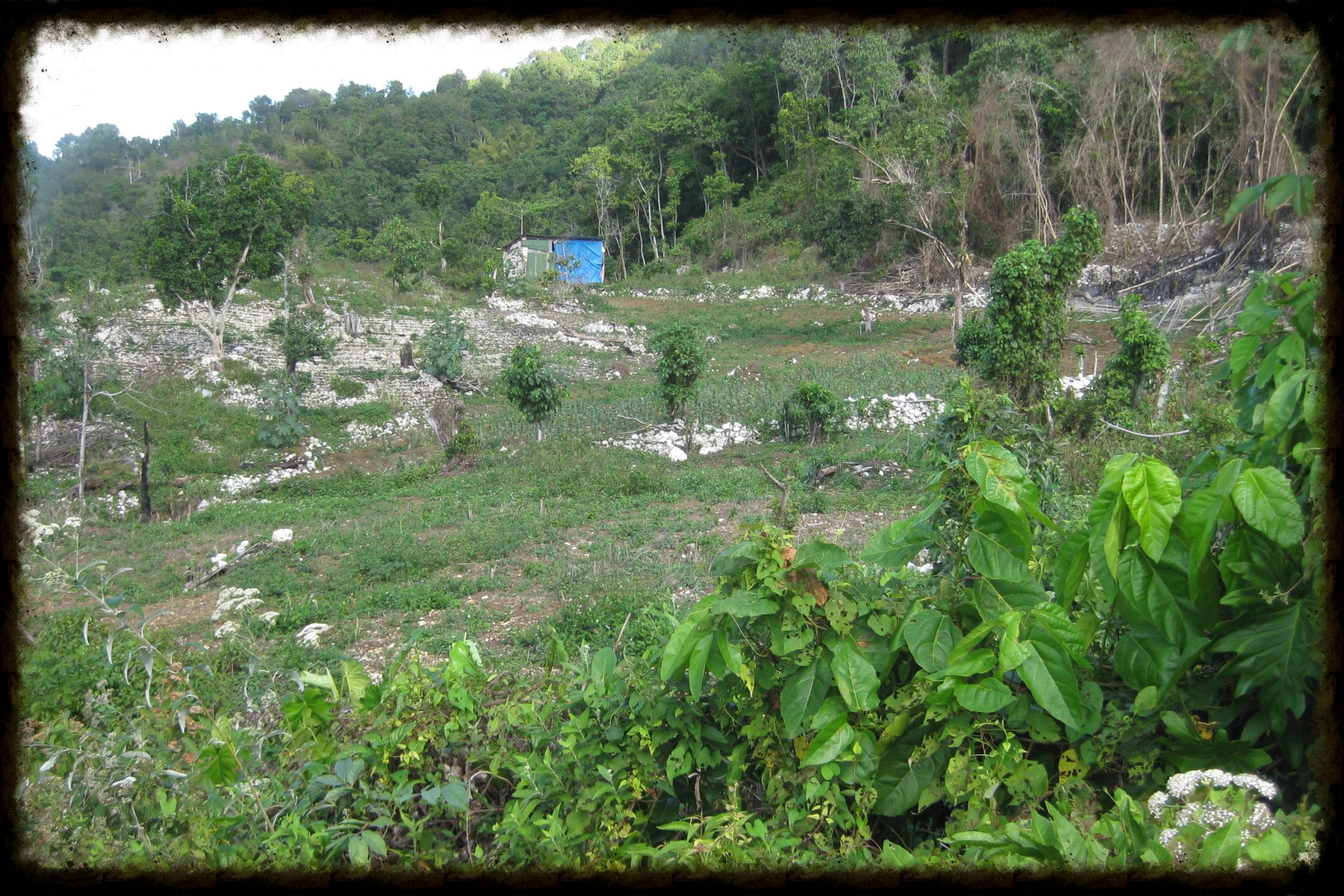 Ganja Field