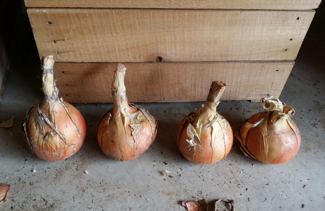 These are F1 generation onions that will be stored in the refrigerator over the winter. They will be planted in early spring to generate seeds for the 2017 planting. Gardeners must plan ahead and be patient.