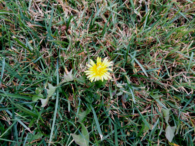 Dandelion flower in mid-December. They should be dormant at this time of the year.