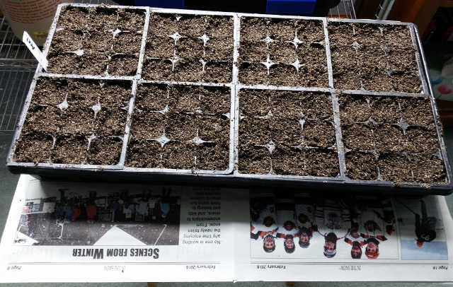 A tray of cells planted with onion seeds for the 2016 season.