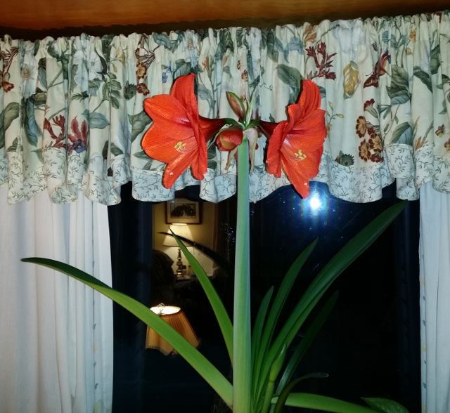 An Amaryllis flower that just opened. If manage properly, they can blossom twice a year. This is an older plant and will have two flower stalks. It is also growing a second bulb that can be planted this summer. How nice for winter enjoyment!