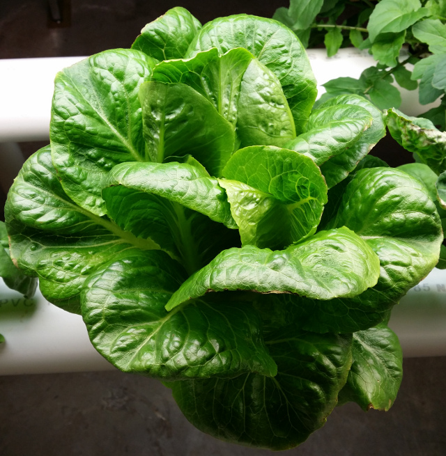 """One lettuce plant from my hydroponics system. I have harvested from this plant four times already. I have started a new business that will sell these systems for homes. I """"grew"""" tired of playing Russian Roulette with tainted store produce."""