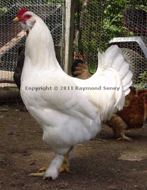 Young Male (Cockerel)