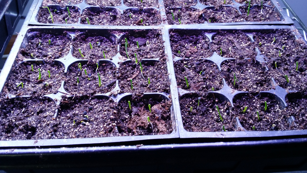 Onion seedlings just beginning to sprout. So exciting!
