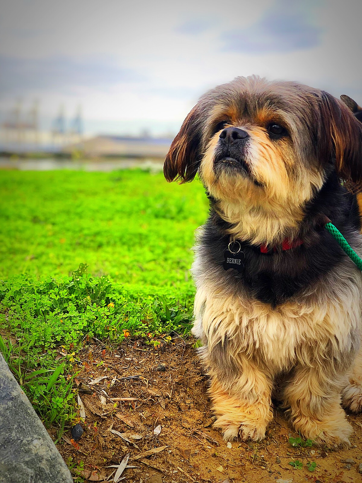 "BERNIE - BREED: Shih Tzu / Pekingese / etc. | RESCUEDIG: @bernie_bear_pupLOVES: sleeping, sniffing, lallygaggingHATES: skateboardsTESTIMONIAL: ""Danielle's Mission District structured pack walks are way more than a potty break or play time; I like to think of it as sending my dog Bernie to school three times a week! Danielle teaches the dogs to coexist with other dogs and be comfortable walking the streets of SF where we all know there are many scary distractions. Bernie HATES skateboards and Danielle makes it a point to take trips to the skate park so he can work on being calm around skateboards. When it comes to communication, Danielle gives you a peek into where the pack went and what they worked on via short handwritten notes and super cute instagram stories. I feel good knowing every M/W/F my dog gets to spend 90+ minutes out with his pack getting some exercise and learning to navigate the world. And, he is slowly becoming more calm when we hear the dreaded skateboards. Bernie and I are so lucky to have Danielle and The Dandy Dogwalker in our lives!"""