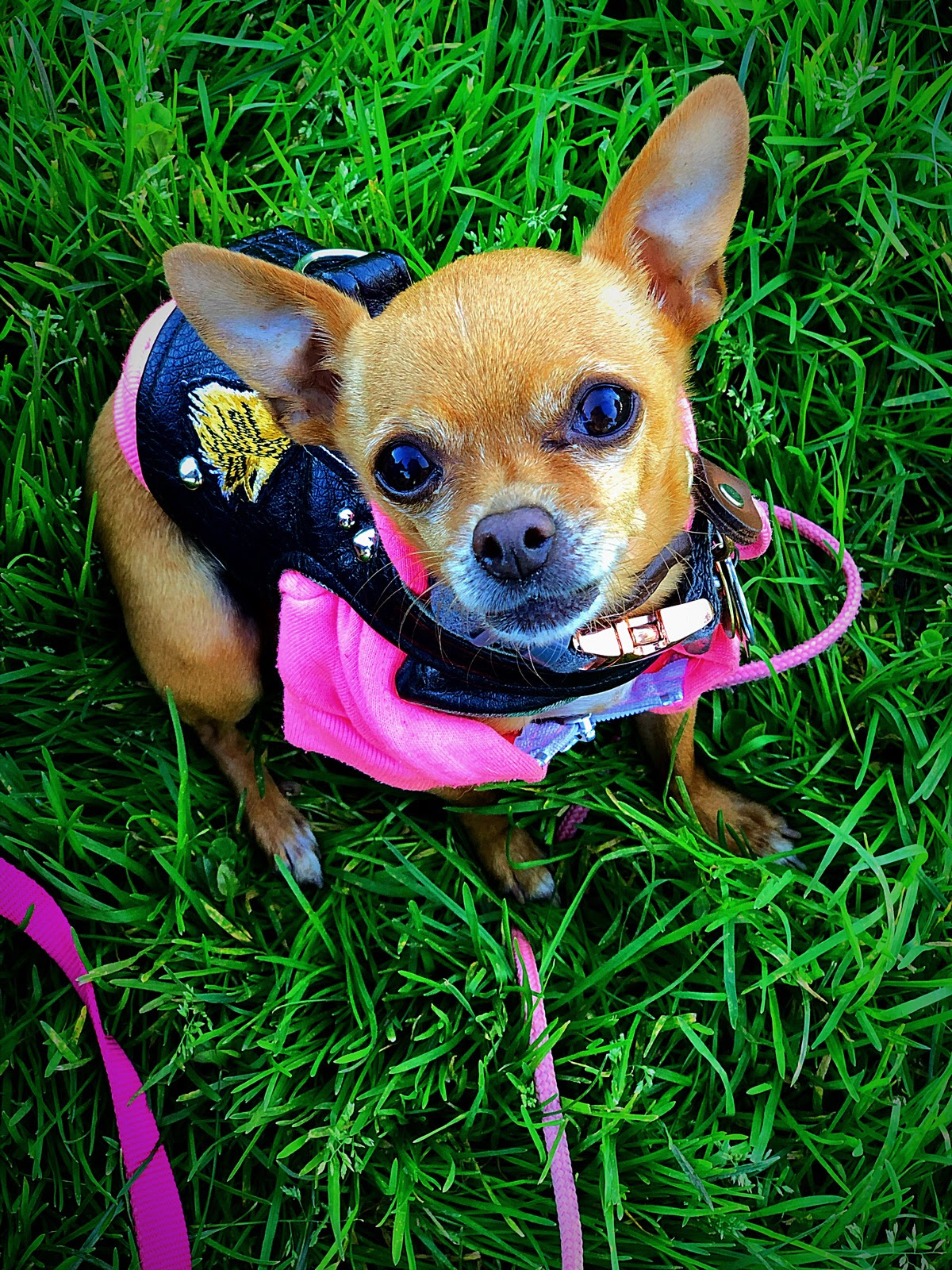 GRETA TINY DANCER - BREED: Teacup Chihuahua | RESCUED, Grateful Dogs Rescue (SF, CA)AGE: 7 yearsLOVES: snoozing in soft blankets, being warm, carrots, sweet potato fries, sunbathingHATES: clouds, cold, rain, anyone getting too close for comfort, unnecessary socializing