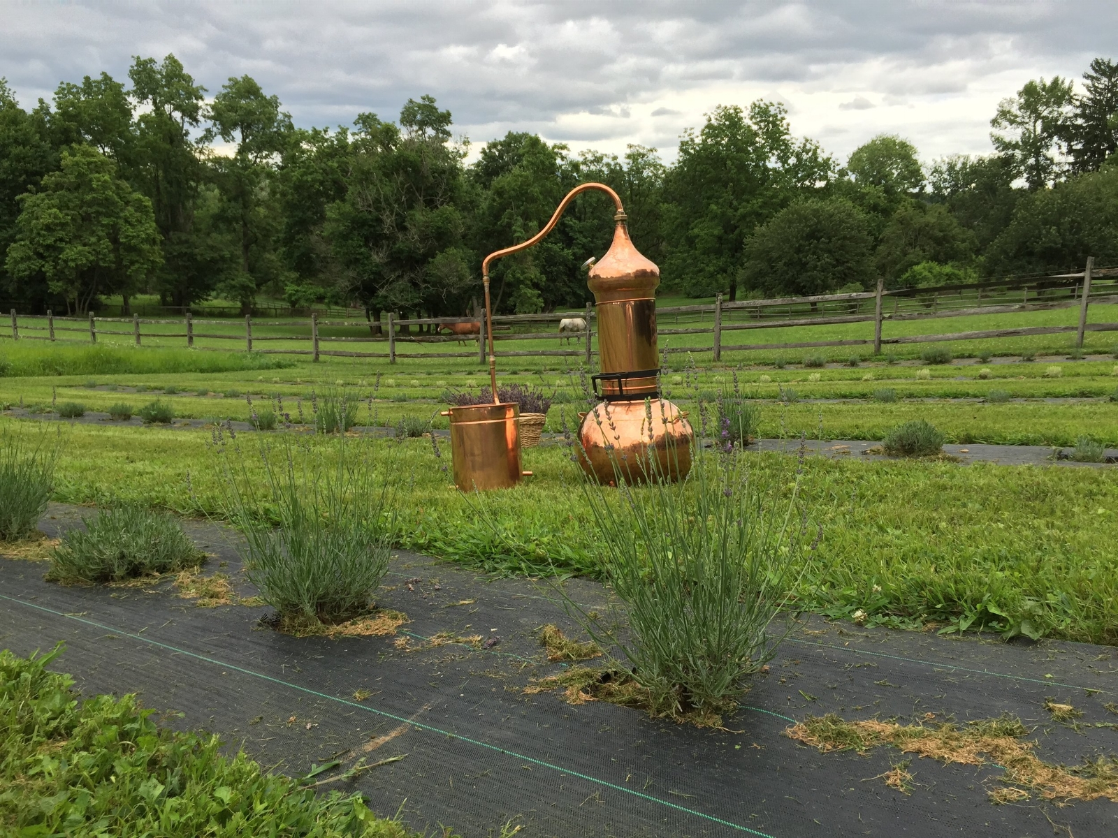 Our lavender essential oils are distilled on the farm in this copper still