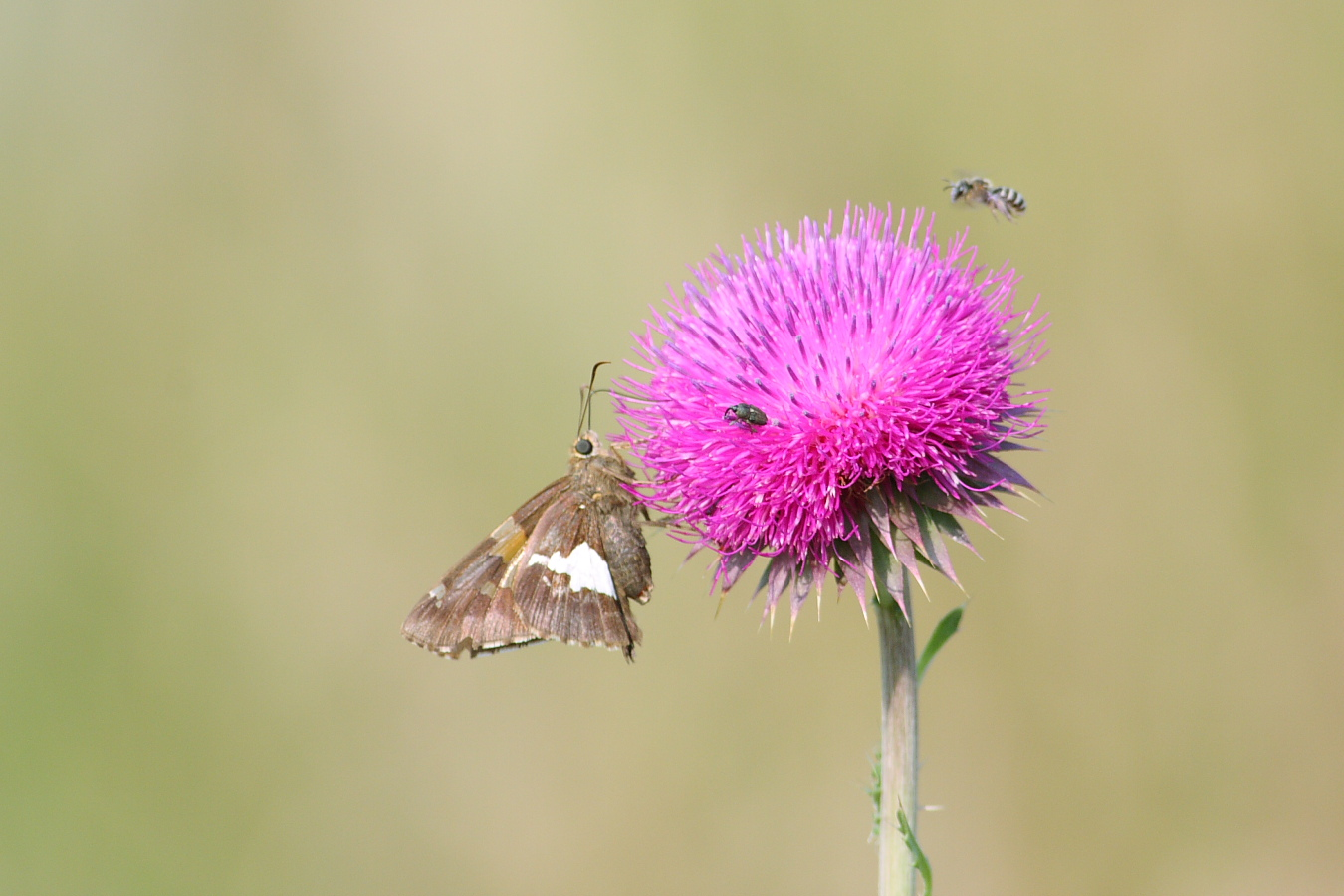 Silver-spotted Skipper  Epargyreus   clarus . Photo by Chris Hugosson.
