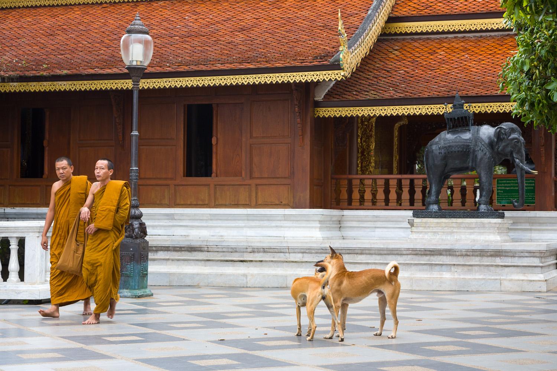 Wat Dogs, Chiang Mai