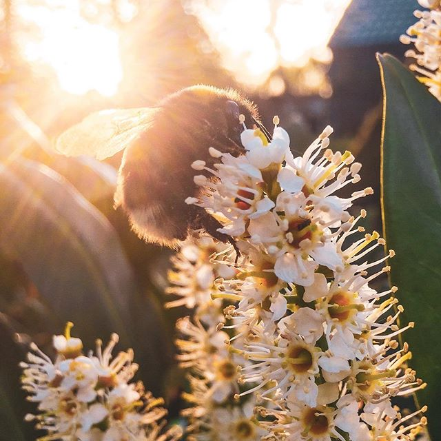Hello little bumblebee! . . . #bumblebee #bee #nature #hommel #natuur #naturephotography #naturelovers #spring #lente #sun #zon #natuurfotografie #flowers #bloemen #nature_perfection #easter #springtime #slow #insect #insects #instagood #cute #sunset #nature_lovers #instanature #instamoment