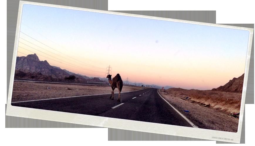 camel-crossing-road