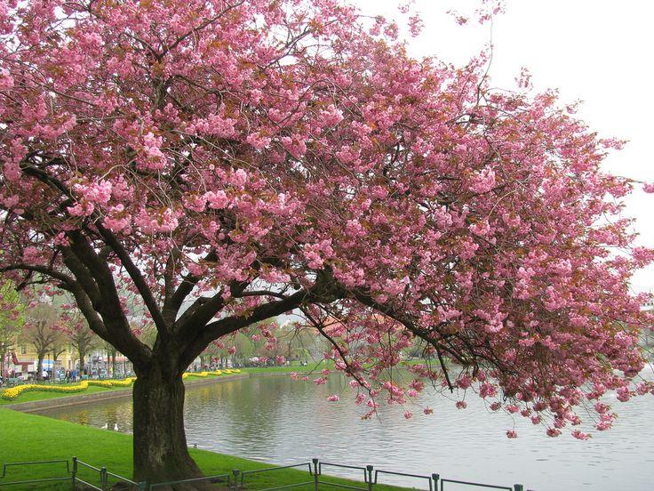 14d6cfb182526a10ffce45bbdf9ad18b--peach-blossoms-apple-blossoms.jpg