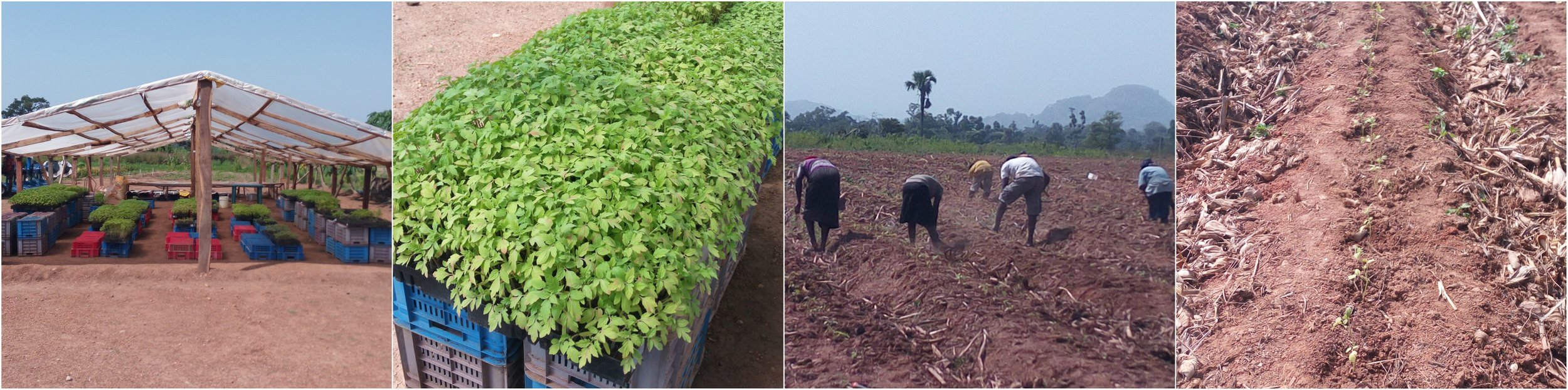 Left to right: 1. Tomato Jos' greenhouse packed with tomato seedlings, 2. Seedlings ready for transplanting, 3. Farm laborers cultivating the farmland, 4. Marked, dug, transplanted, and irrigated...the tomato seedlings are finally home.