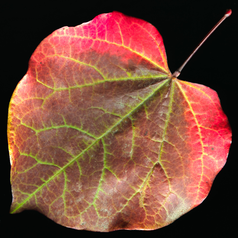 Heart Shaped Leaf.jpg