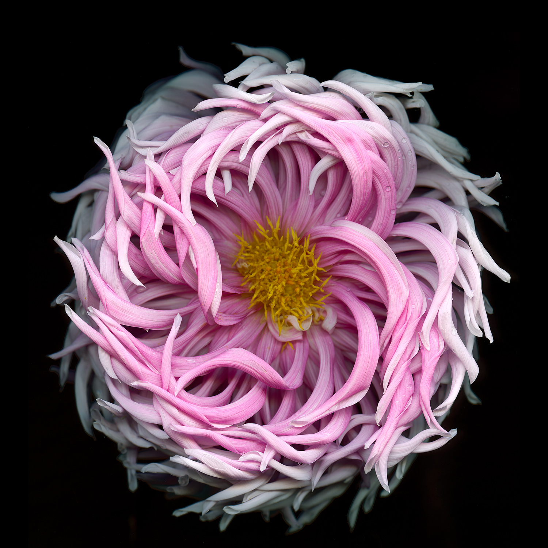 Pink Curly Dahlia.jpg