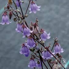 ringflower.jpg