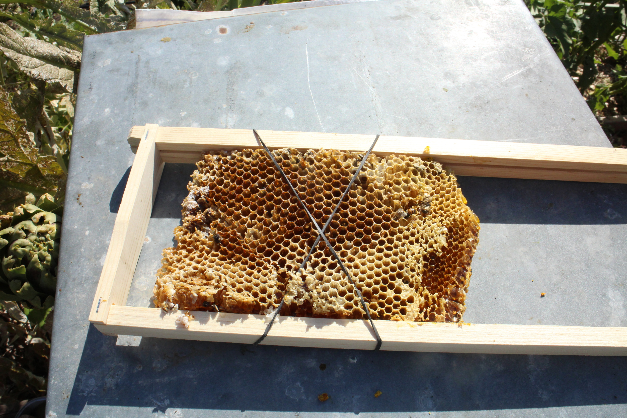 Bees will begin immediately to attach the comb to the frames.