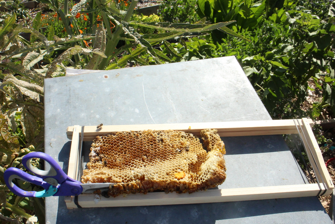 Comb is placed on empty frame as template and cut to fit. Frames are preloaded with rubber bands to secure the comb