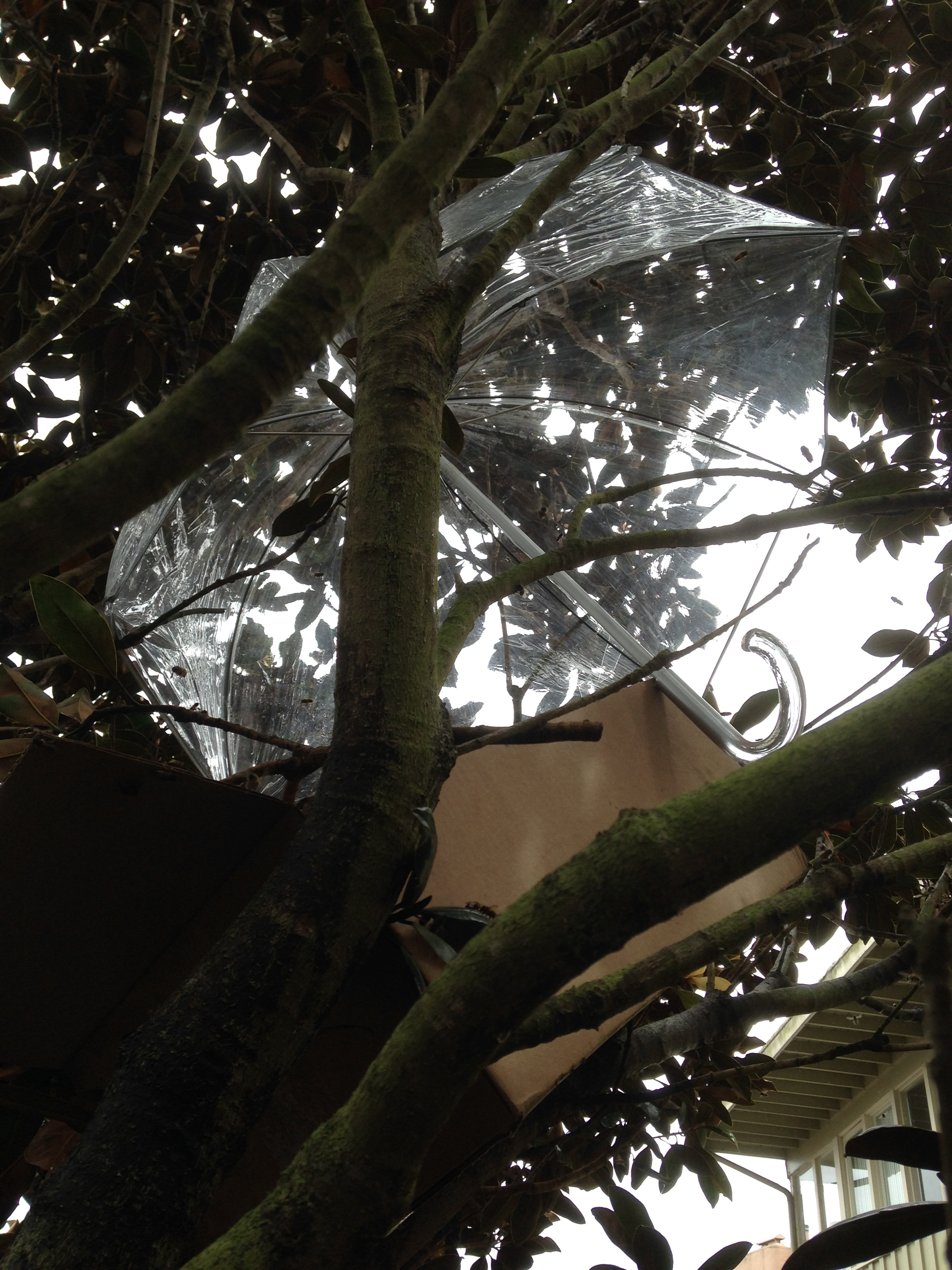 This swarm was caught in a magnolia on a rainy day, so I put an old umbrella over them to help them dry out.