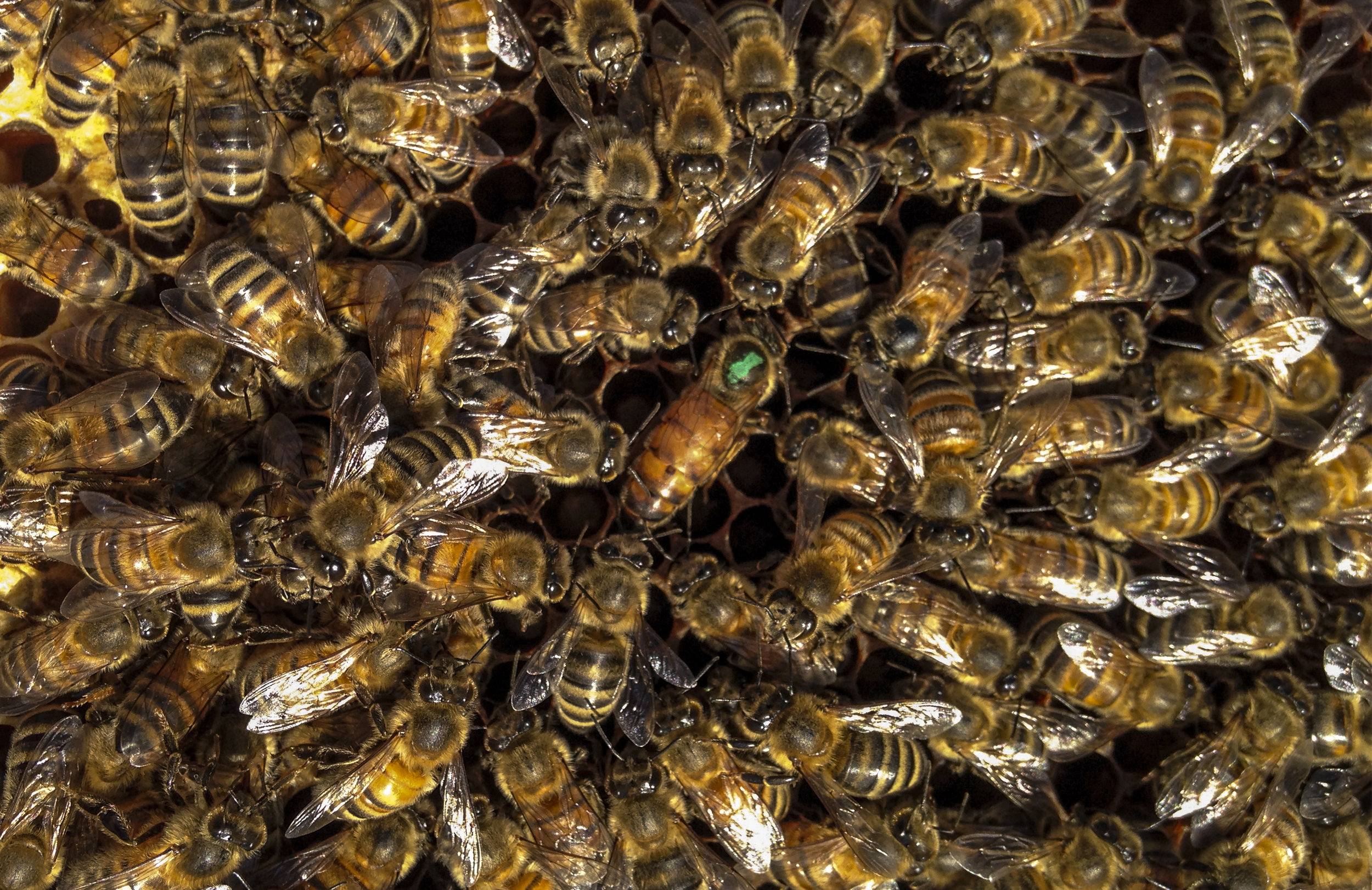 The royal queen in the center of her worker bees